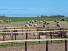 sheep-farm-outside.jpg